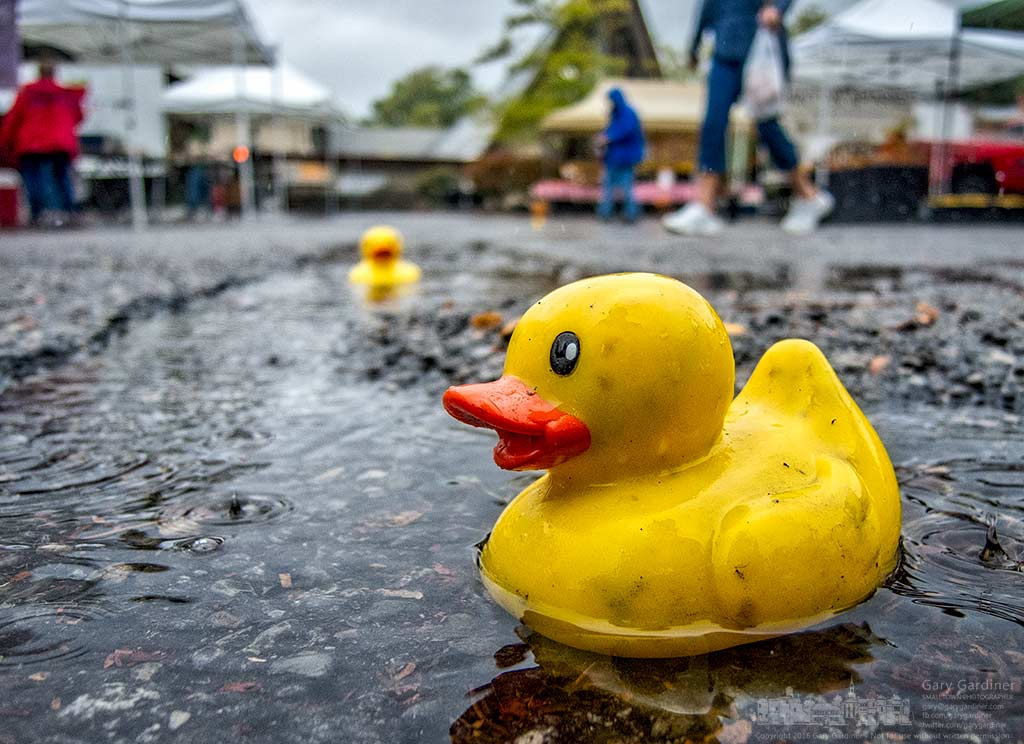 One of four rubber ducks float in puddles during heavy rain at the Uptown Westerville Farmers Market Wednesday. My Final Photo for Sept. 28, 2016.