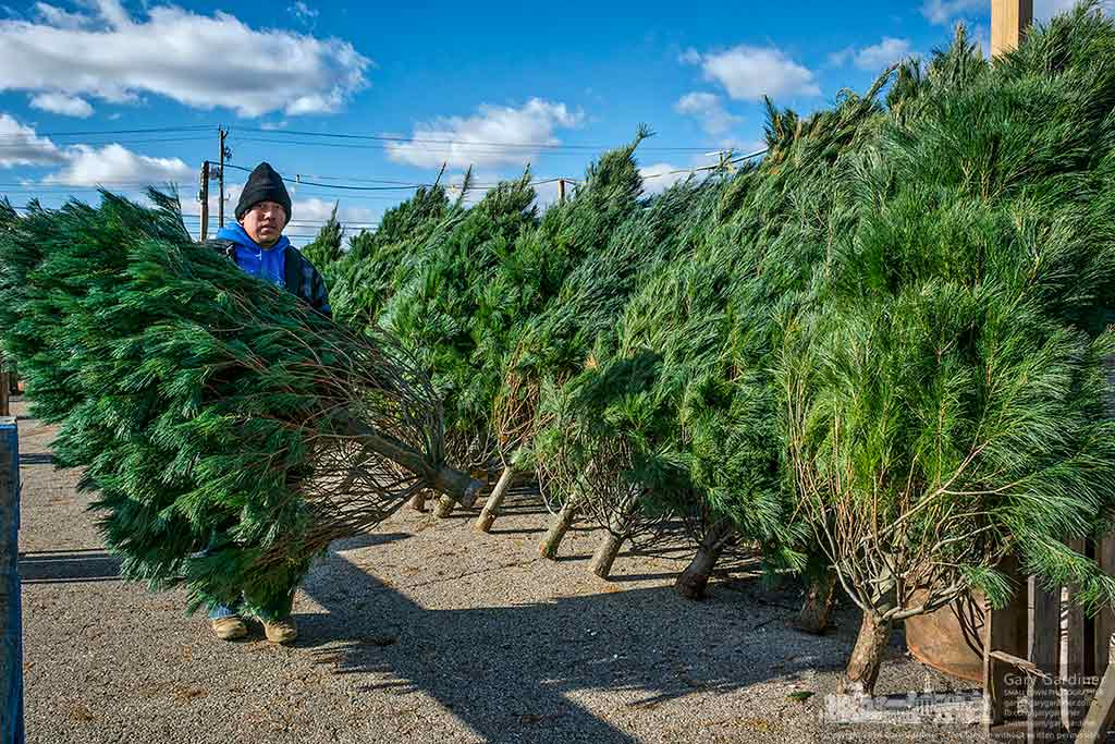 Christmas trees are lined up on measured rows as the Oakland Nursery Christmas tree sale lot at Glengarry Center prepares it self for opening day on Black Friday. My Final Photo for Nov. 21, 2016.