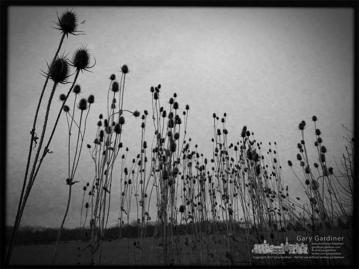 A wall of thistles still stand at the edge of the farm field on the Braun Farm after a mild winter. My Final Photo for March 13, 2017.