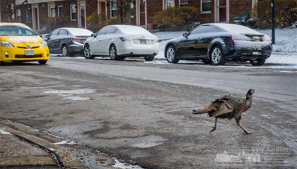 A wild turkey walks against traffic across Beechcroft Road in Columbus after traveling through a nearby large apartment complex. My Final Photo for March 14, 2017.