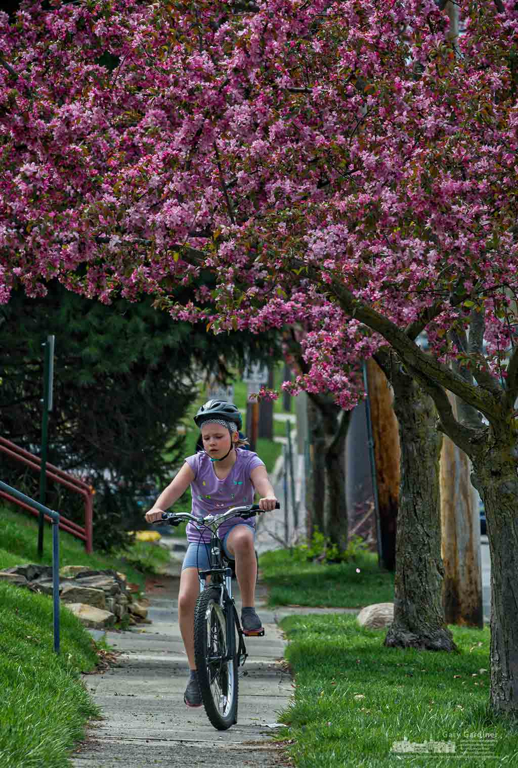 A young girl rides her bike home after school beneath a canopy of flowering trees. My Final Photo for April 13, 2017.