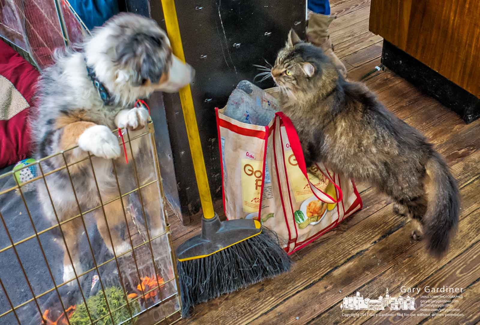 """Stinky,"" the resident cat at Westerville Antiques gets a close look at ""Jax"" the Aussie Shepherd pup of the new owners of the store on the first day they took over operation of the Uptown business. My Final Photo for Dec. 12, 2017."