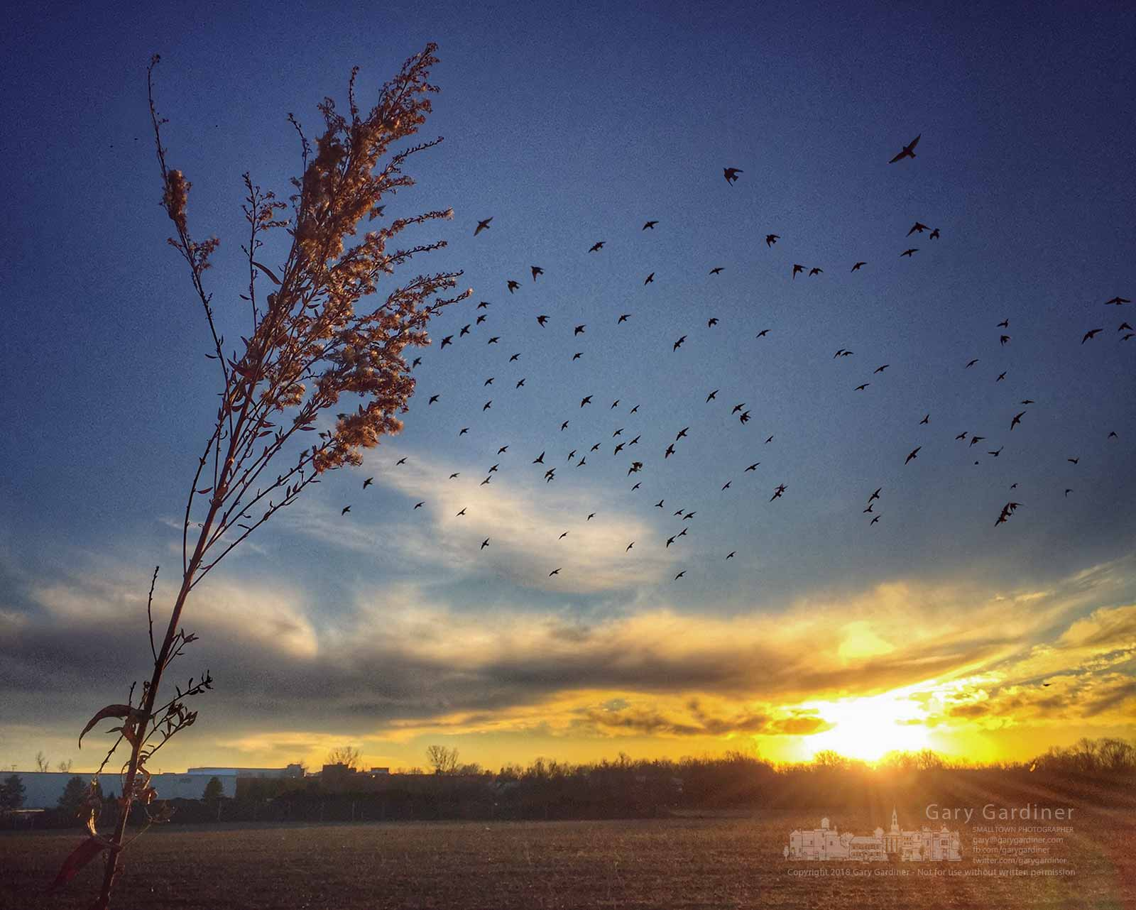 A flock of birds circle the Braun Farm fields as he winter sun settles below the horizon. My Final Photo for Jan. 26, 2018.