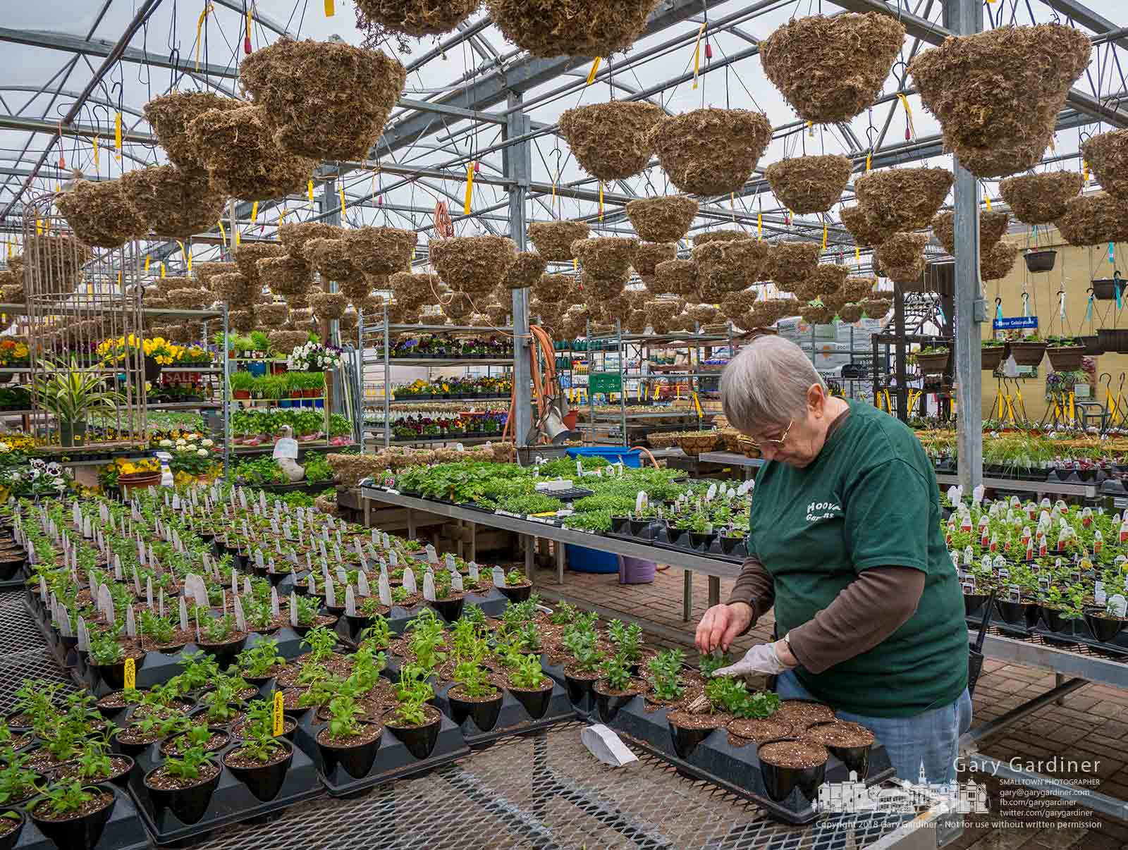 A gardener at Hoover Gardens places young annuals in pots as the nursery prepares itself for Spring planting although early forecasts for the first days of Spring include snow and freezing rain. My Final Photo for March 20, 2018.