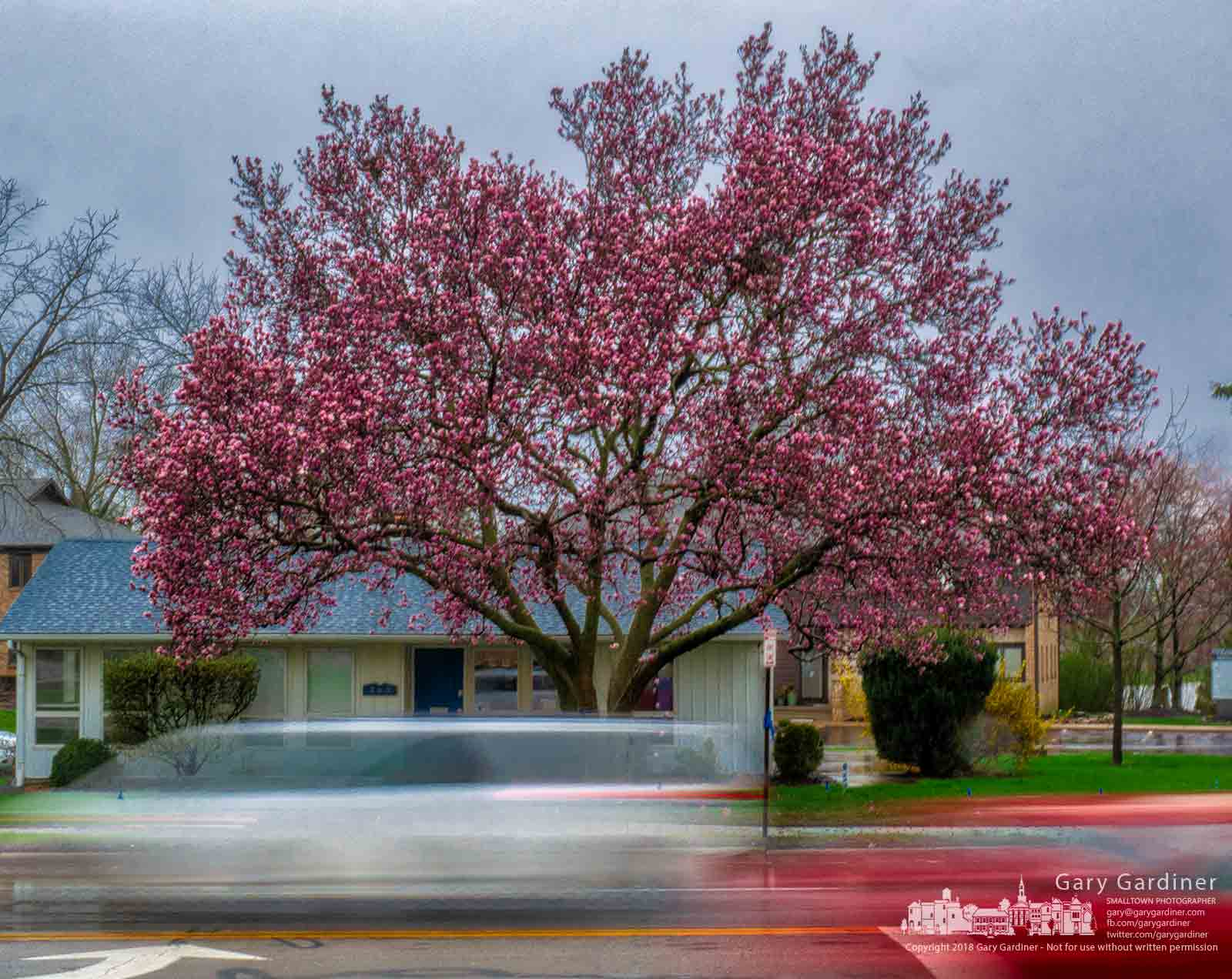 A Japanese Magnolia on South State Street is in full blossom sharing its Spring colors with drivers rushing by on a Sunday afternoon. My Final Photo for April 15, 2018.