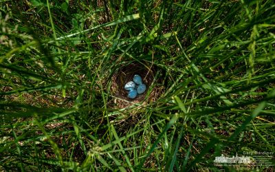 Nesting Deep In The Grass