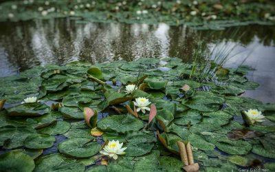 Wetland Lilies