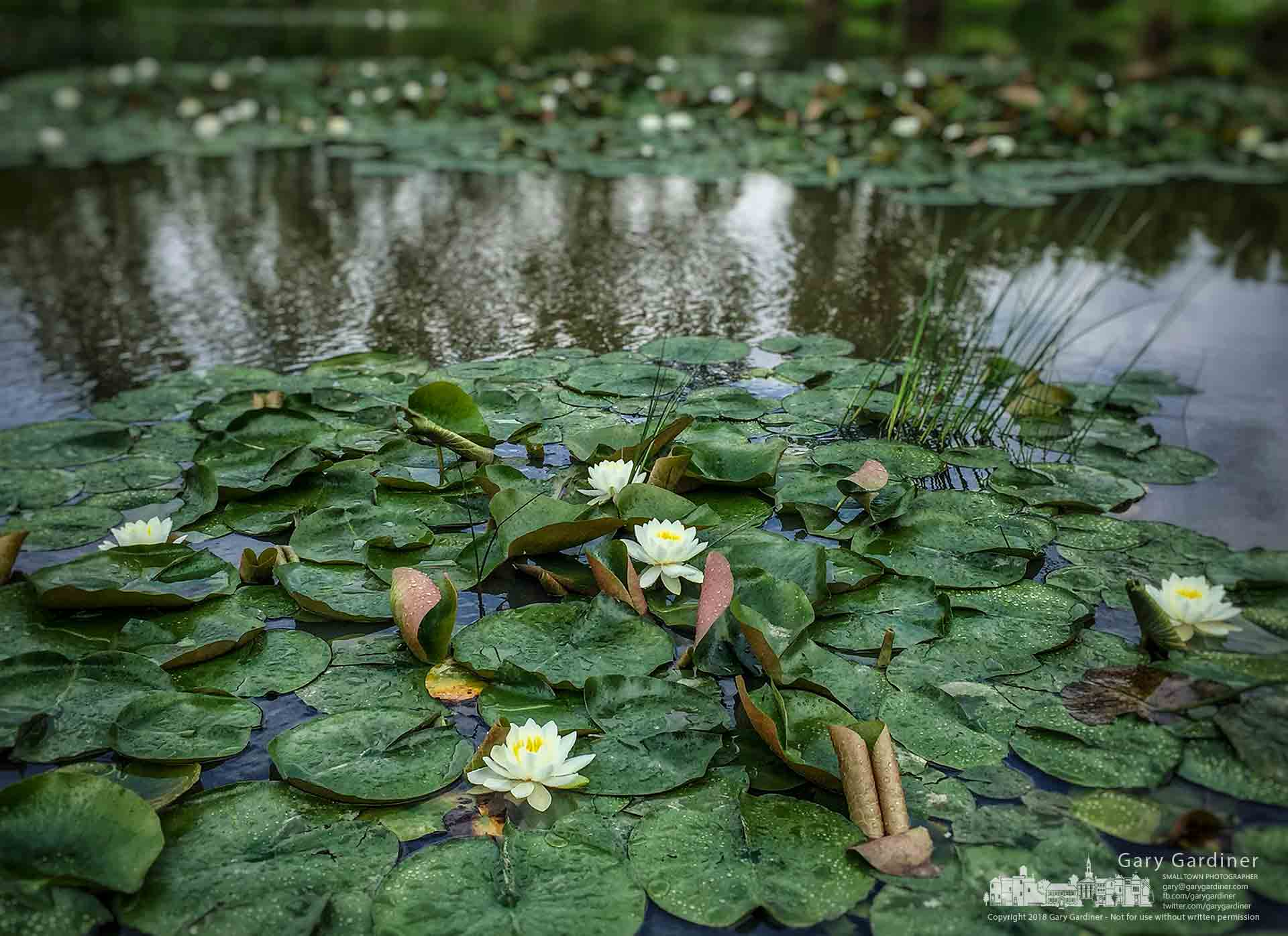 Water lilies blossom in the wetland at Highlands Park. My Final Photo for May 19, 2018.