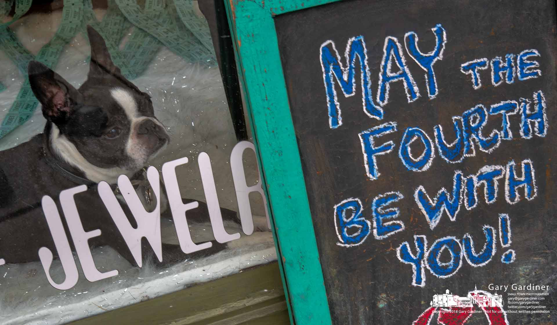 Henry the Boston rests from all the May The Fourth Be With You festivities in Uptown Westerville in his usual position, the front window of Cinda Lou's. My Final Photo for May 4, 2018.