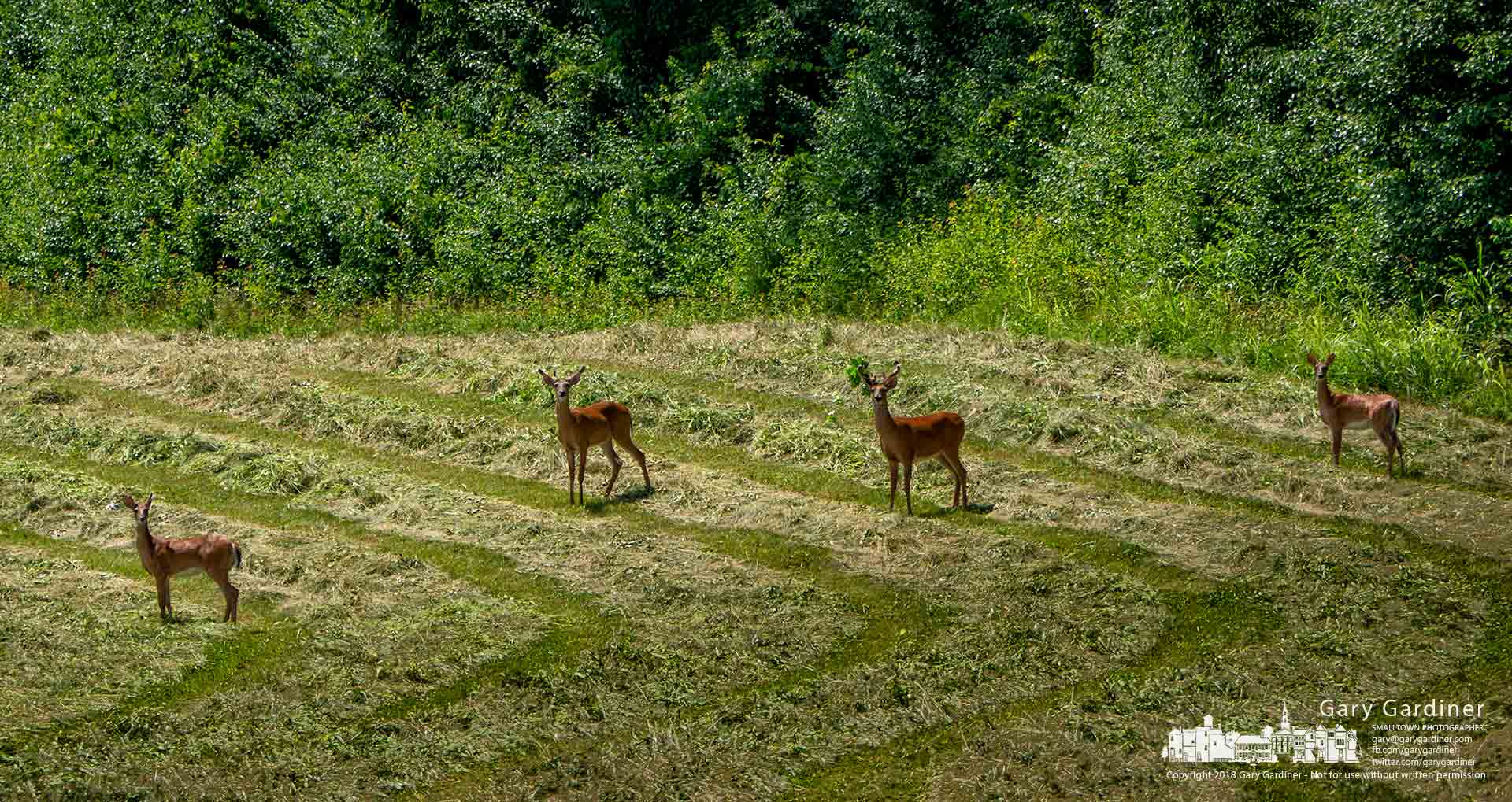Four deer stand on the edge of a field of fresh cut hay watching tractor and farmer before continuing their way across the Braun Farm property near Cleveland Ave. and Cooper Road. My Final Photo for June 28, 2018.