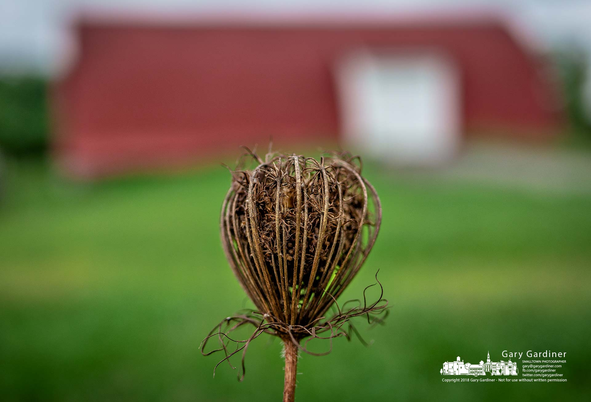 A dried Queen Anne's Lace flower turning to seed sits in front of the barn on the Braun Farm property alongCooper Road. My final Photo for Sept. 17, 2018.