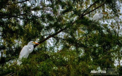 White Egrets Over Highlands Wetlands