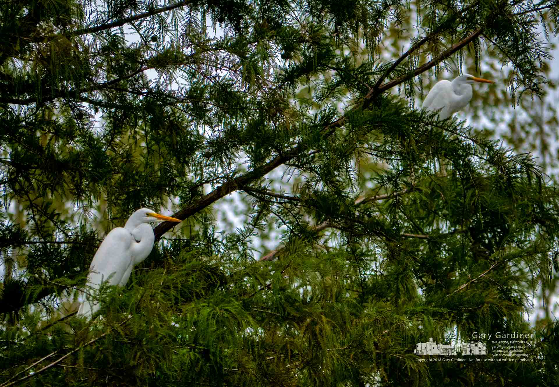 A pair of white egrets sits in one of the cypress trees along the bike path over the Highlands Park wetlands where recent rains have flooded the pond changing their hunting patterns. My Final Photo for Sept. 25, 2018.