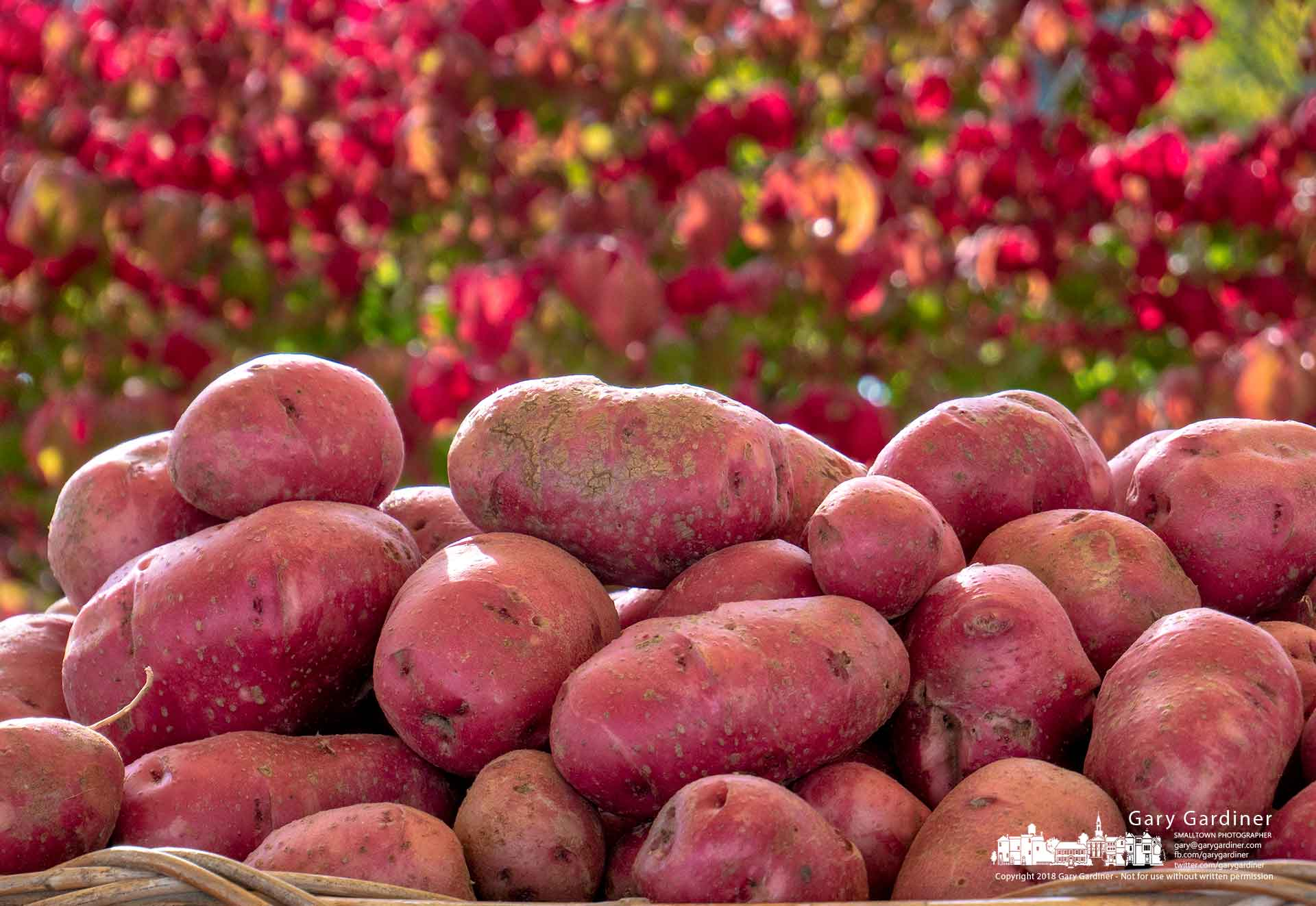 Freshly harvested and washed red potatoes sit in a basket ready for shoppers at the Bird's Haven Farm tent at the Wednesday Market in Uptown Westerville. My Final Photo for Oct. 3, 2018.