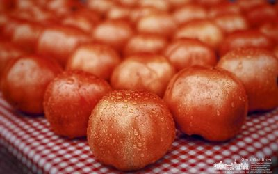Last Market Tomatoes