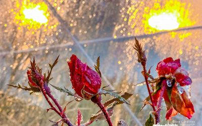 Roses In Ice and Rain