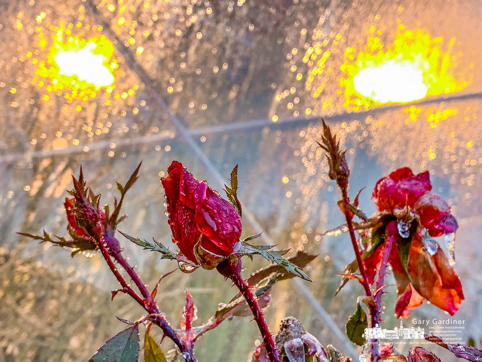 Roses wear a coating of ice and rain just outside the Otterbein Science Center building's greenhouse after an overnight storm brought freezing rain to the city. My Final Photo for Nov. 15, 2018.