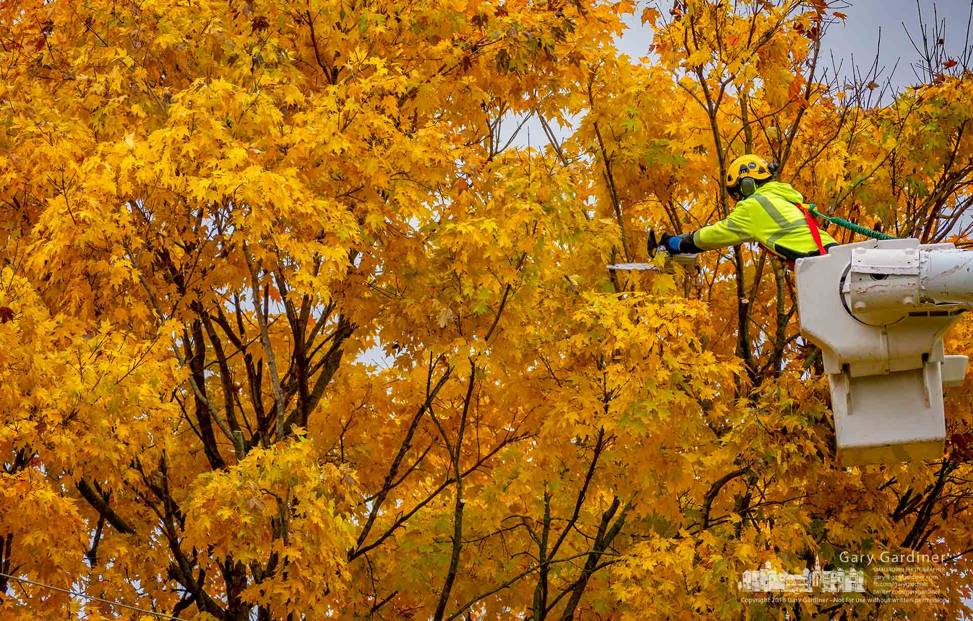 A Westerville Electric Division linesman clears gold-colored maple tree limbs hanging near power lines on Orchard Lane. My Final Photo for Nov. 2, 2018.