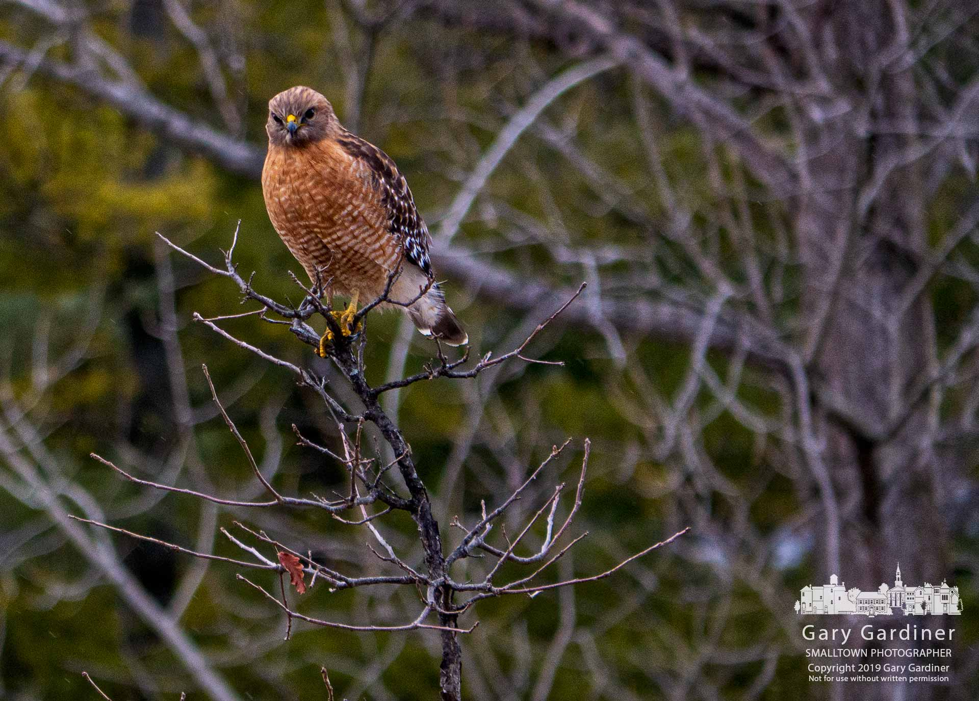 A Red-shouldered Hawk studies the waters and shoreline of the wetlands at Highlands Park from his perch in a sapling growing along the shoreline of the pond. My Final Photo for Feb. 4, 2019.