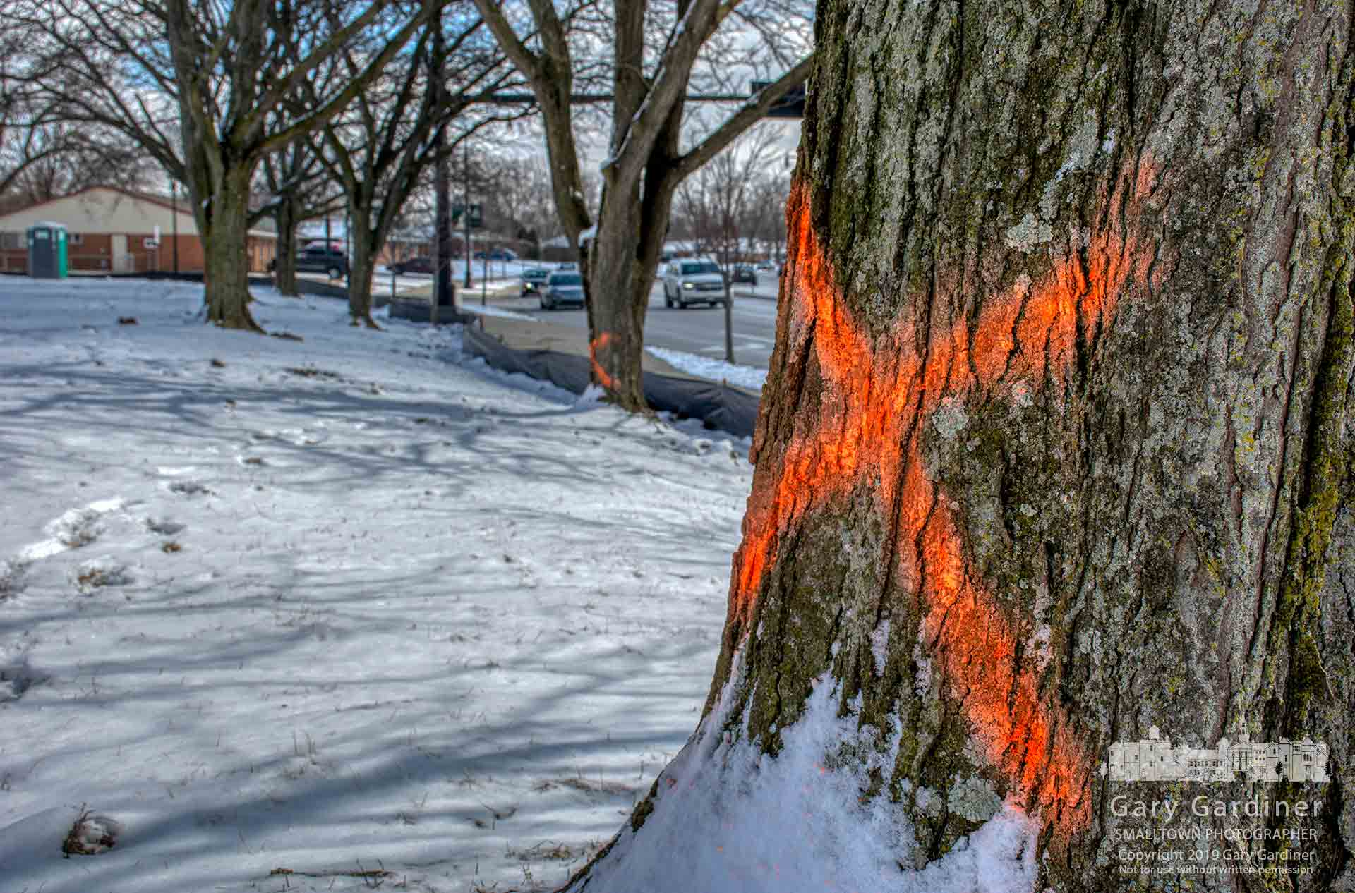 A spray-painted X marks one of five honey locust trees to be cut down to make way for the parking lot of the First Watch restaurant being built at State and Huber Village Blvd. My Final Photo for March 4, 2019.