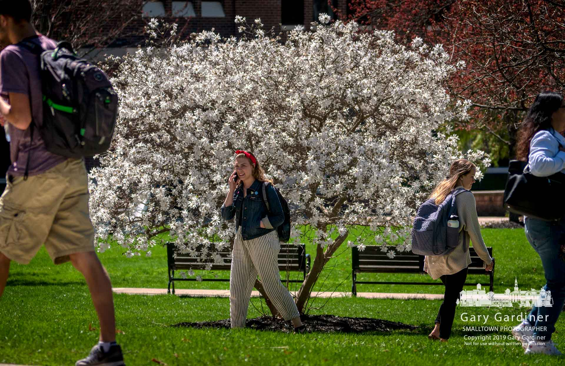 An Otterbein student talks on her phone as she and other students walk past a Japanese magnolia in full bloom between classes Tuesday at the school. My Final Photo for April 9, 2019.