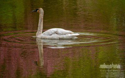 Trumpeter Swan Settles Into Highlands Wetlands