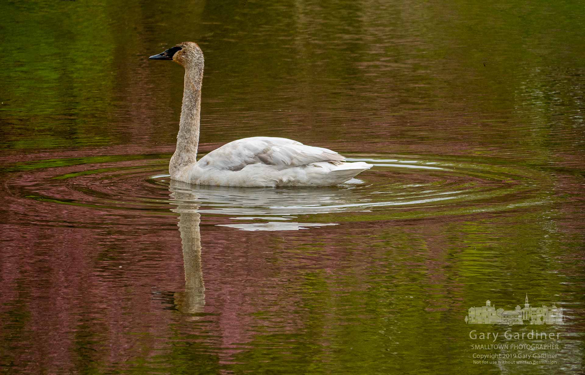A Trumpeter Swan settles into the wetland waters of Highlands Park reflecting the spring colors of flowering trees in its placid waters. My Final Photo for April 30, 2019.