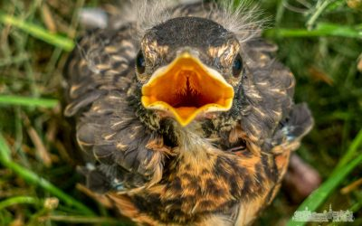 Fledgling Robin Out Of Nest