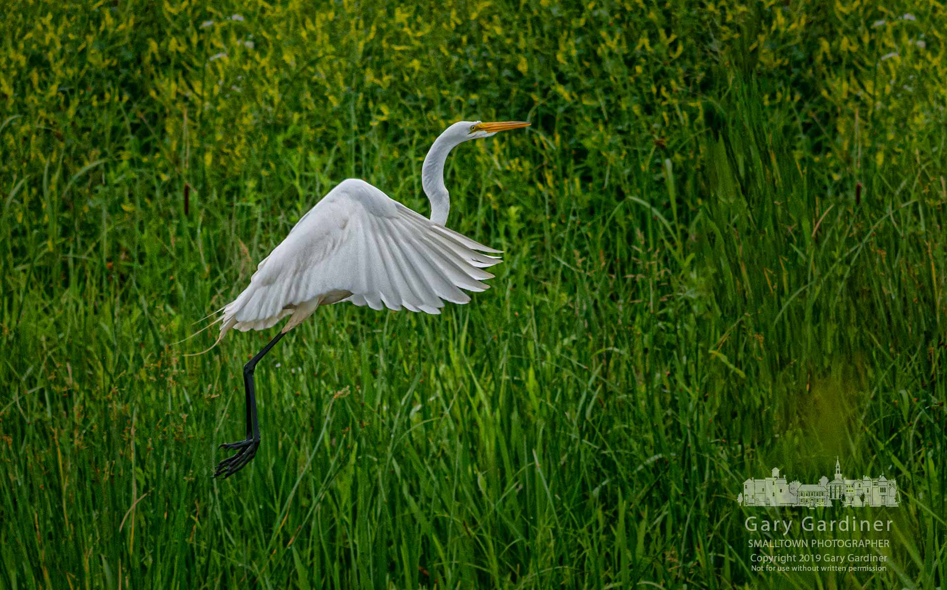 A white egret launches into flight after feeding in the slow-moving waters of Highlands Park wetlands. My Final Photo for June 15, 2019.