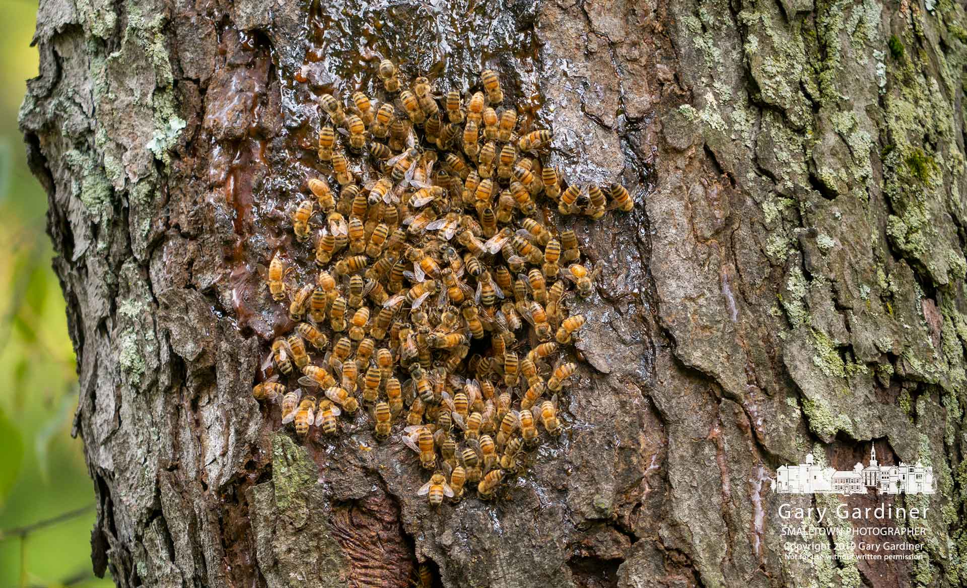 Bees gather at the entrance to their hive in an old tree at the edge of Hoover Reservoir in Red Bank Park. My Final Photo for Aug. 31, 2019.