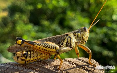 The Differential Grasshopper