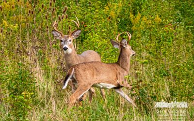 Braun Farm Deer