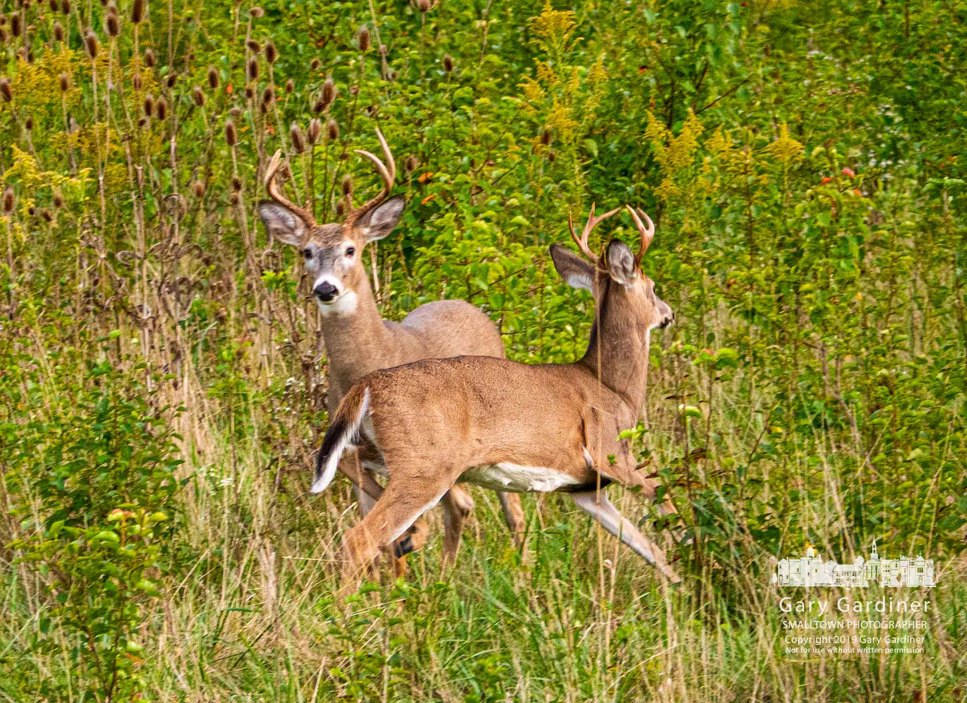 A pair of deer pass each other in one of the small overgrown fields late in the afternoon at the Braun Farm property on Cleveland Ave. My Final Photo for Oct. 7, 2019.