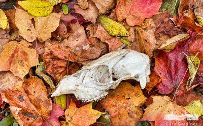 Small Buck Among Fall Leaves