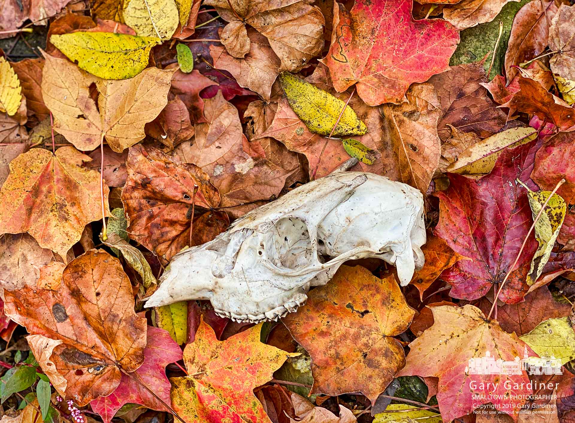 The skull of a young buck sits on a bed of fall leaves along a creekbed from a stream near Africa Road that leads to Alum Creek. My Final Photo for Oct. 22, 2019.