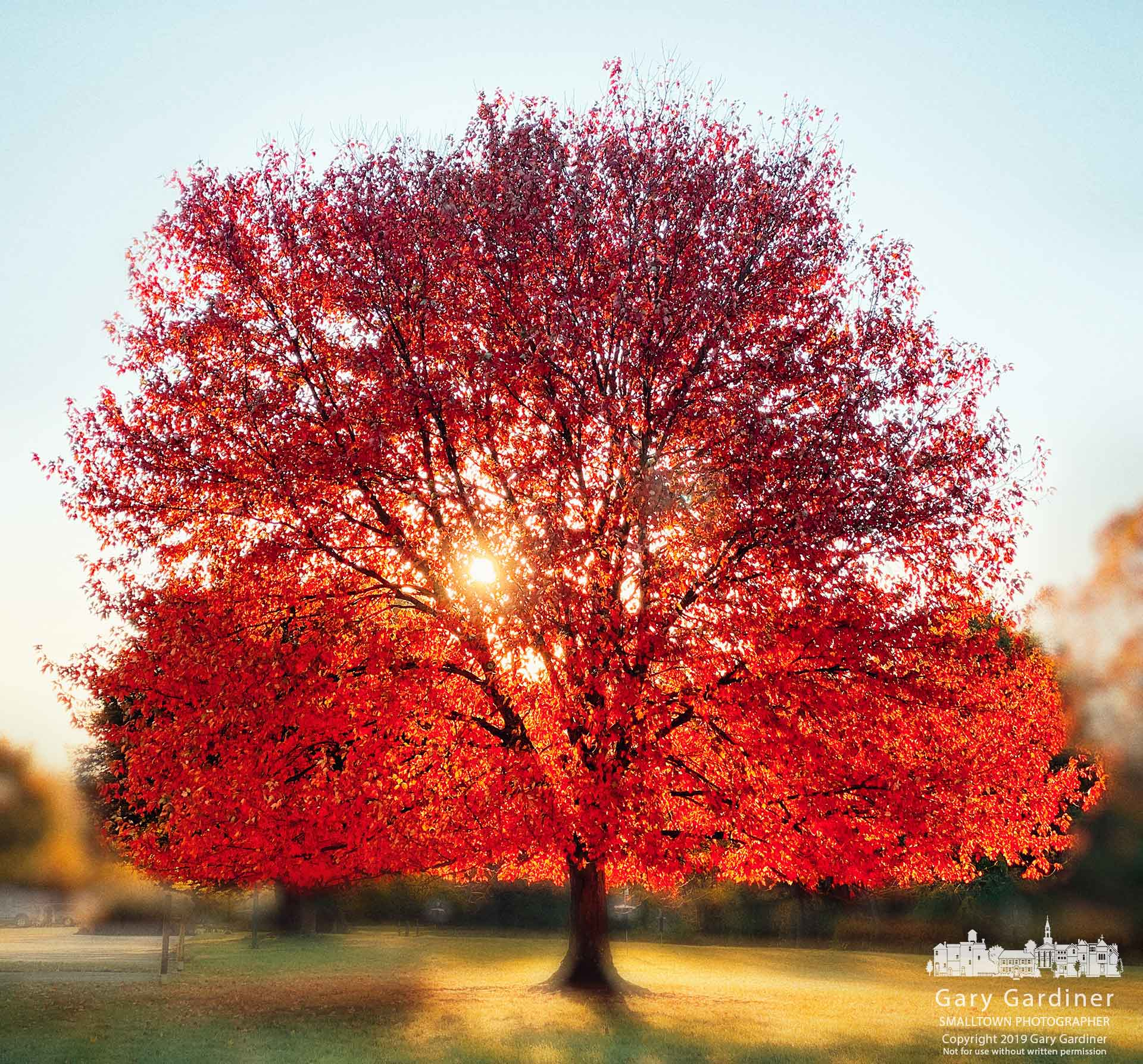 The morning sun cuts through the aptly named red maple leaves of the tree that greets visitors to the parking lot at Innswood Metro Gardens. My Final Photo for Oct. 23, 2019.
