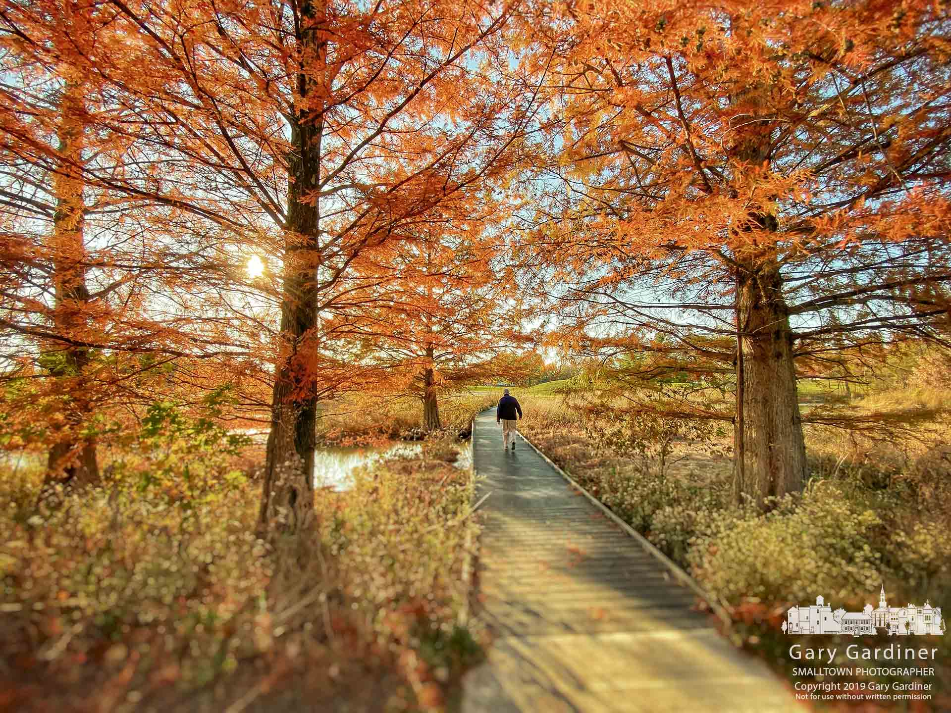 A man walks across the boardwalk across the wetlands at Highlands Park where the cypress trees flanking the path are the colors of fall. My Final Photo for Nov. 4, 2019.