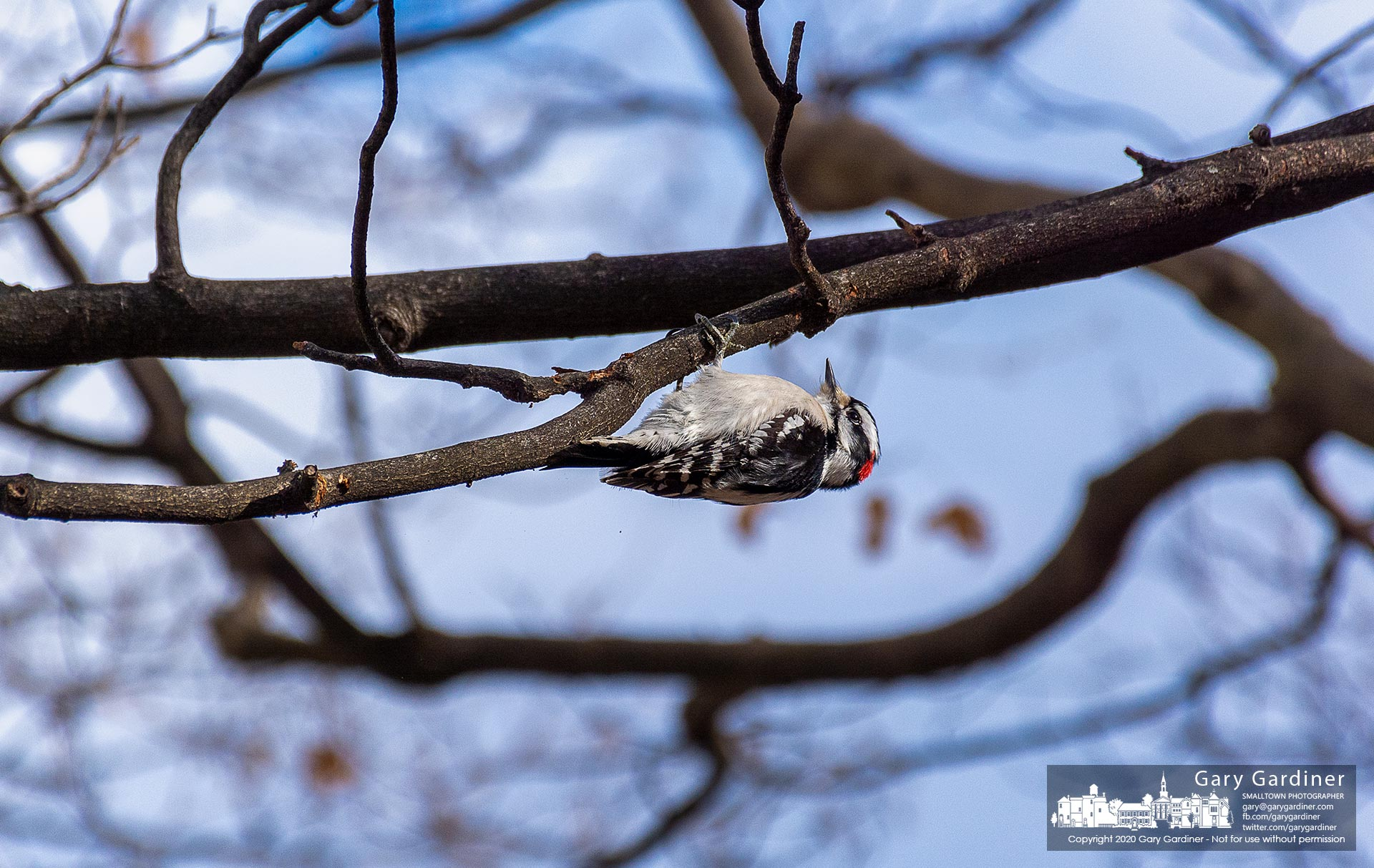 A Downy woodpecker hangs upside down as it forages for food on the maple tree at the old farmhouse on the Braun farm property on Cleveland Ave. My Final Photo for Jan. 20, 2020.