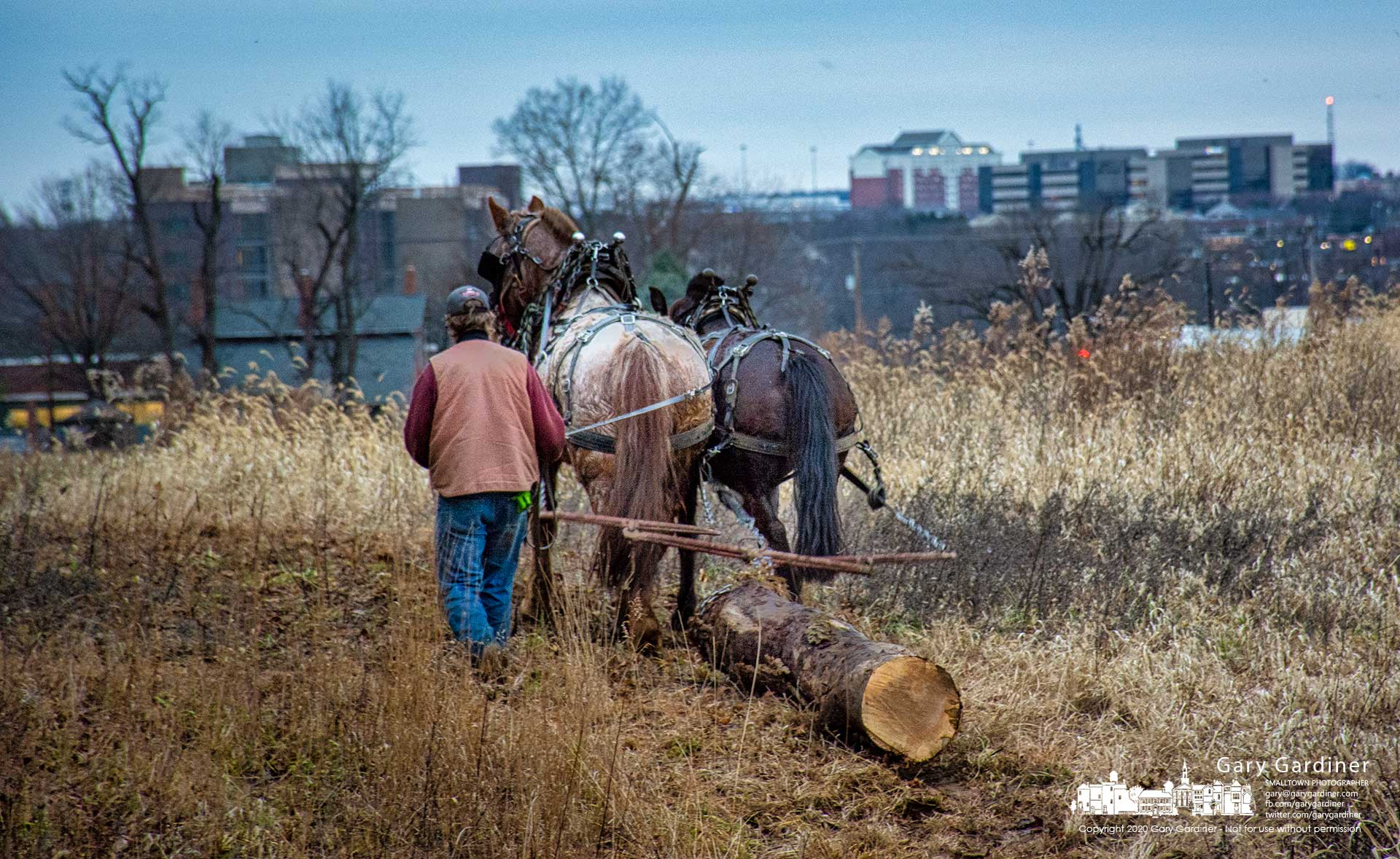 Rodney Parker uses draft horses Belle, left, and Smoky, to pull an ash tree trunk from the woods bordering a small creek off Africa Road where modern office buildings now line the skyline where farm fields once stood. My Final Photo for Dec. 2, 2020.