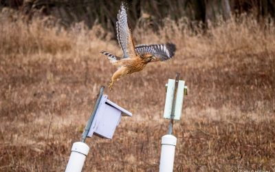 Red-Shouldered's Hawk's Perch