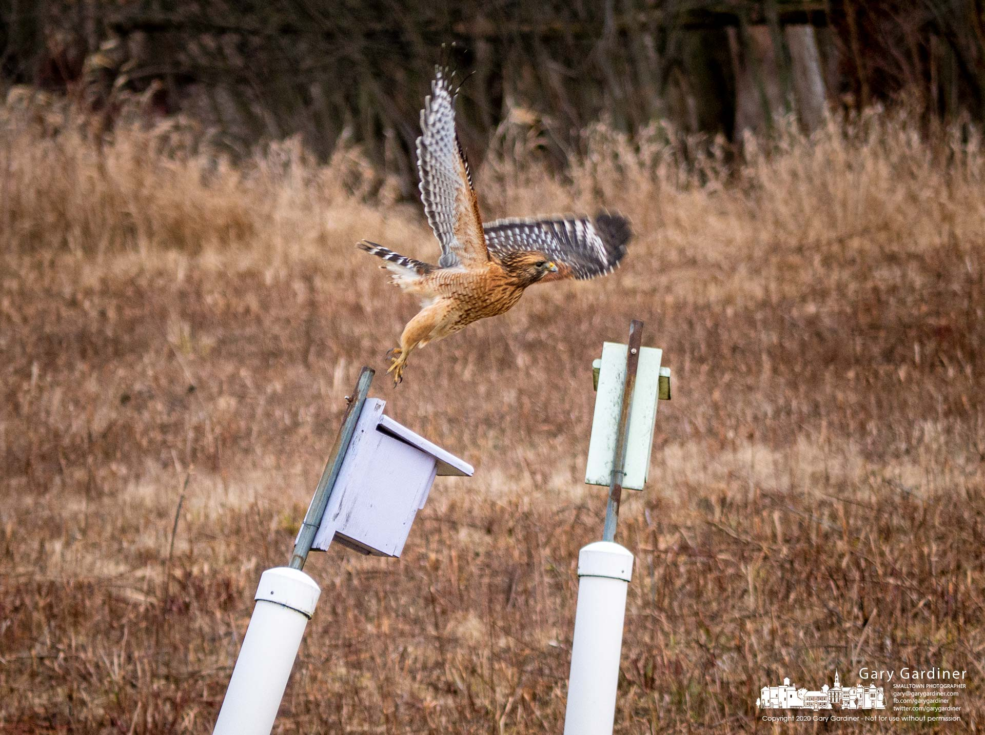 A Cooper's Hawk launches itself from a bluebird nesting box where it perched watching the meadow fields on the shoreline of Hoover Reservoir. My Final Photo for Jan. 1, 2020.