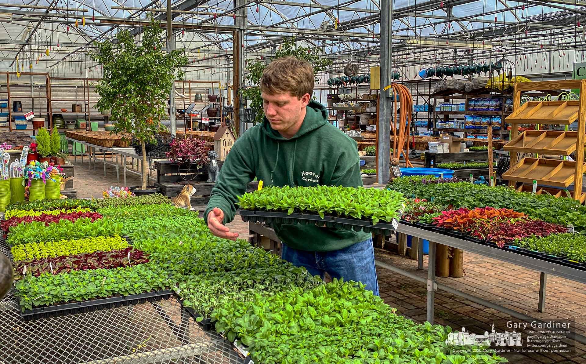 Trays of annual flowers are placed onto racks in the greenhouse at Hoover Gardens as a warm series of days begins to mimic the days of Spring and the garden center's preparations to supply eager green thumbs begins. My Final Photo for March 5, 2020.