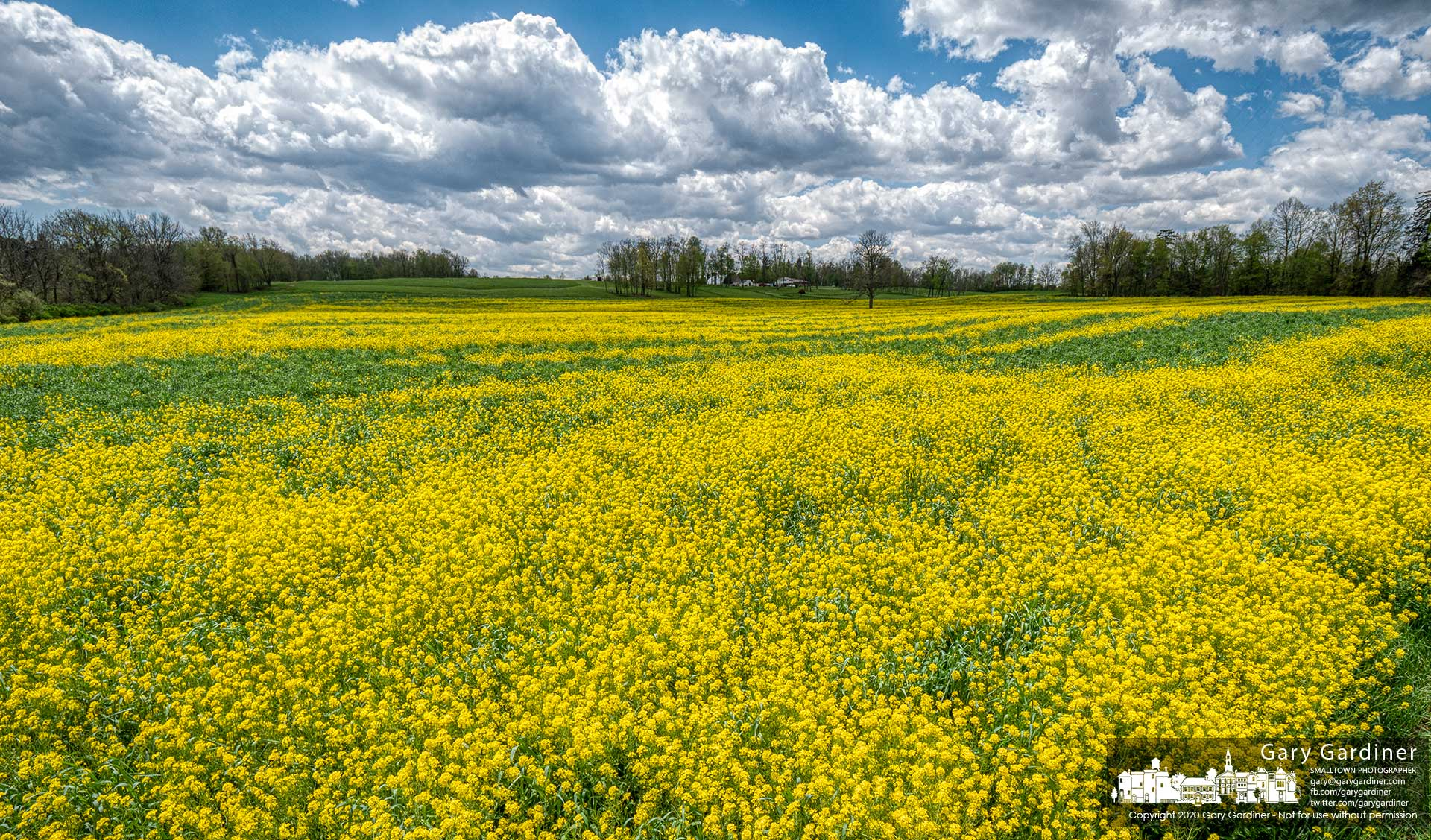 A crop of yellow mustard grows in a field along Morse Road in Licking County. My Final Photo for May 7, 2020.