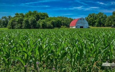 Corn Grows Taller