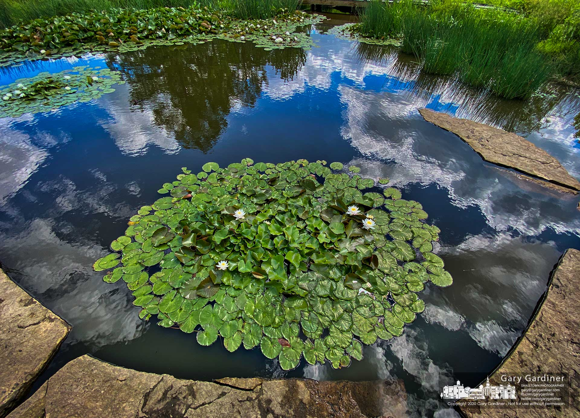 Morning sun shining through bright clouds illuminates flowering lily pads growing in a small pool at the Highlands Park wetlands. My Final Photo for June 11, 2020.