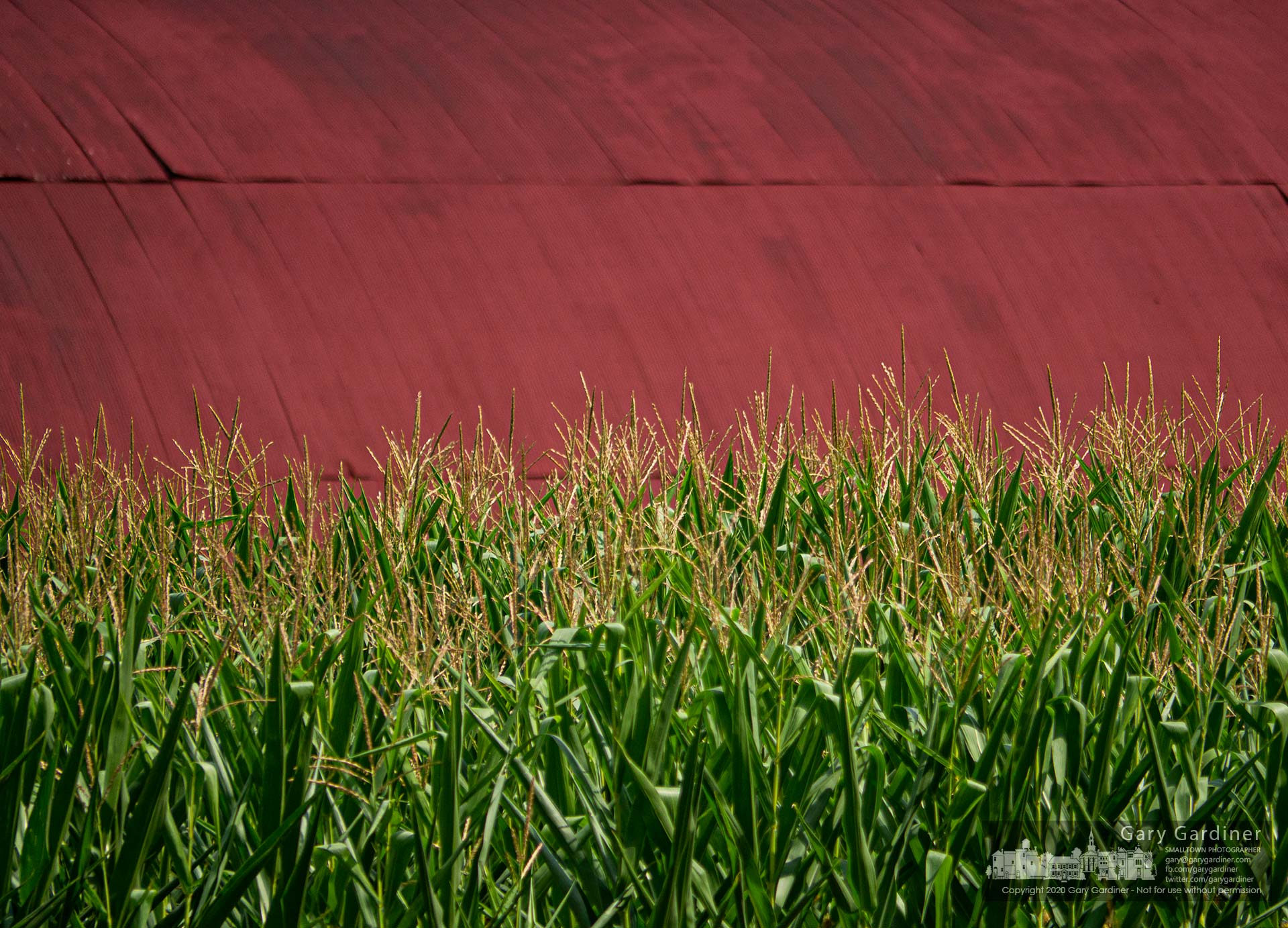 Golden tassels on green corn stalks contrast with the rich red roof color of the barn on the Braun Farm on Cleveland Ave. My Final Photo for Aug. 10, 2020.