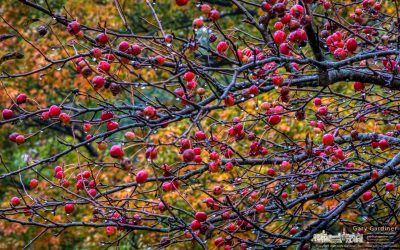 Crabapple Colors