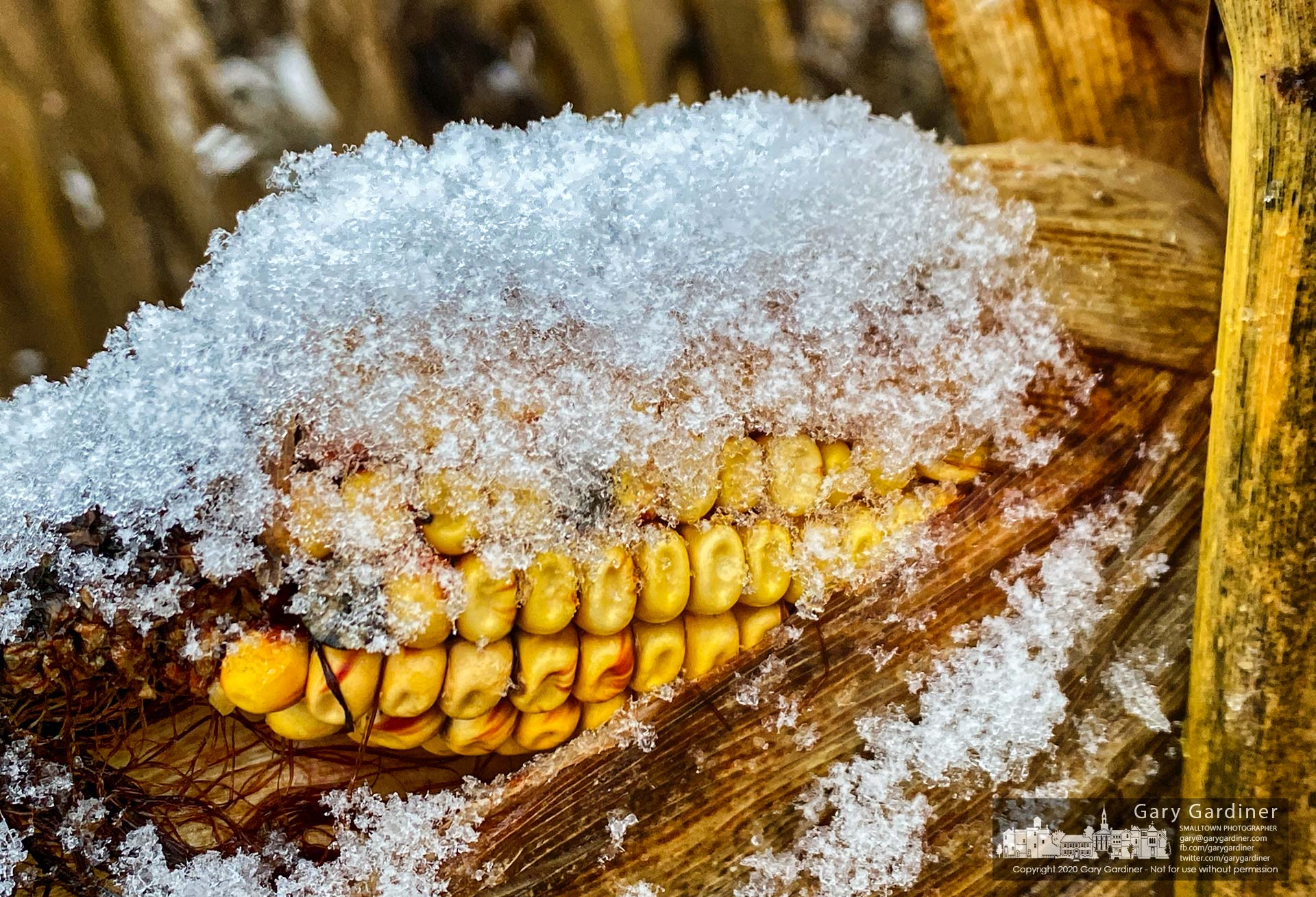 An ear of field corn is nestled under a blanket of ice and snow as the first snow of the season settled on the Braun Farm fields. My Final Photo for Nov. 30, 2020.