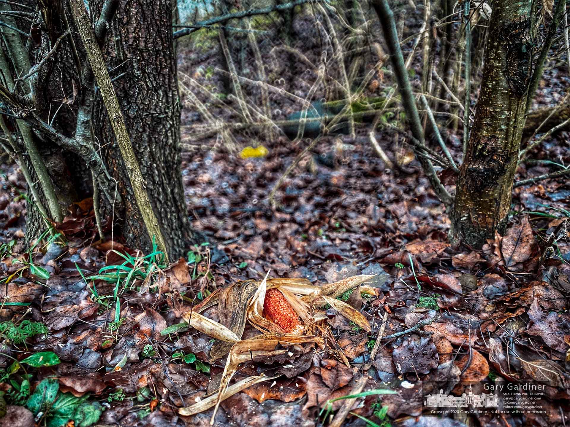 A corn cob stripped of its kernels by hungry deer sits at the edge of a small wooded section of the Braun Farm. My Final Photo for Dec. 21, 2020.