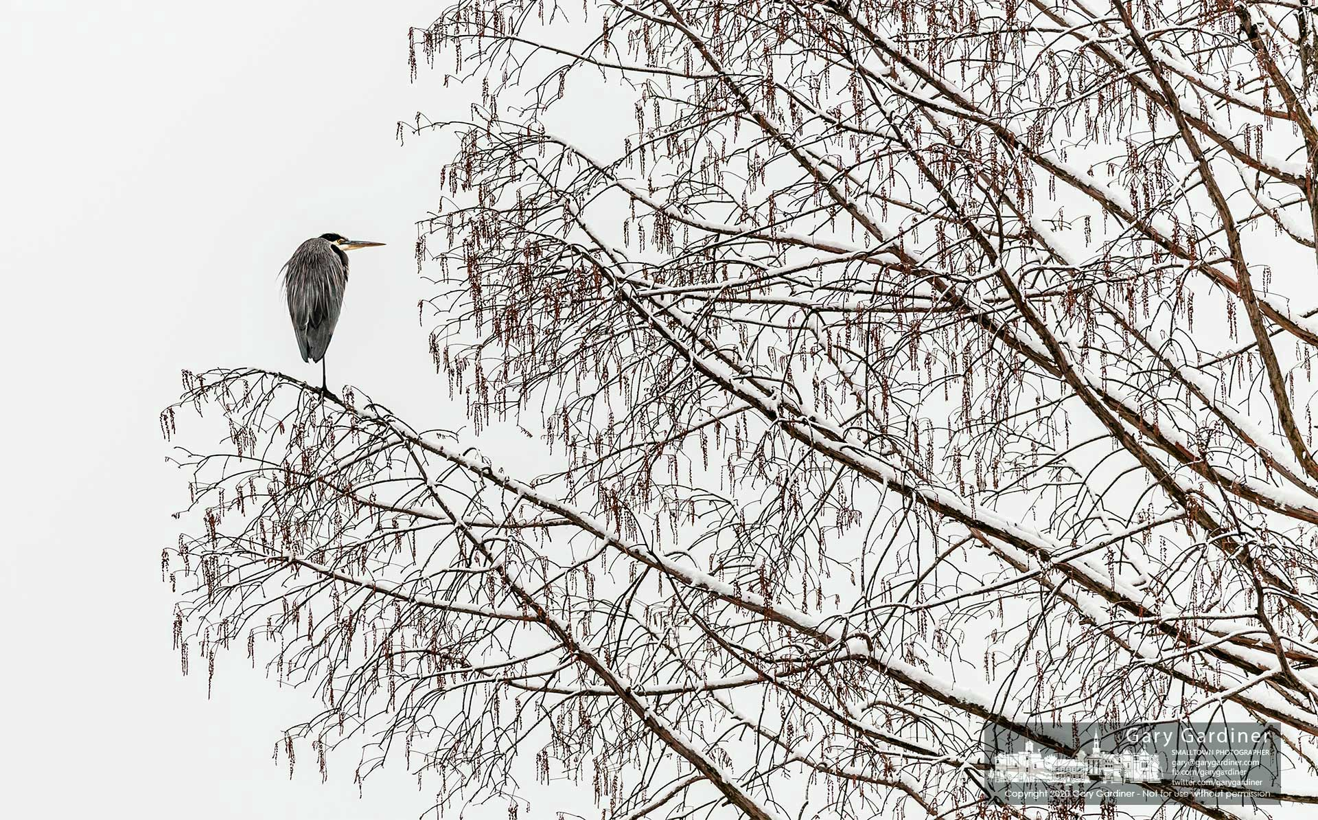 A blue heron rests on one foot on the end of a bald cypress tree limb at Highlands Park during a pause in the day-long snowfall. My Final Photo for Dec. 16, 2020.